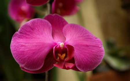 Papel de parede Orquídea – Rosa para download gratuito. Use no computador pc, mac, macbook, celular, smartphone, iPhone, onde quiser!