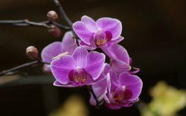 Papel de parede Orquídea – Roxa