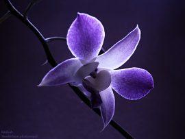 Papel de parede Orquídea Azul
