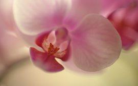 Papel de parede Orquídea