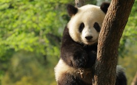 Papel de parede Panda na Árvore