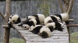 Papel de parede Pandas Dormindo