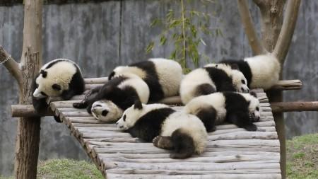 Papel de parede Pandas Dormindo para download gratuito. Use no computador pc, mac, macbook, celular, smartphone, iPhone, onde quiser!
