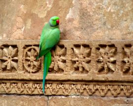 Papel de parede Papagaio Indiano