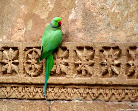 Papel de parede Papagaio Indiano para download gratuito. Use no computador pc, mac, macbook, celular, smartphone, iPhone, onde quiser!