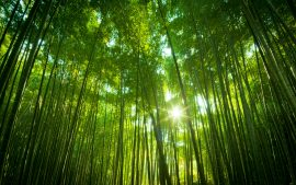 Papel de parede Floresta de bambu japonês