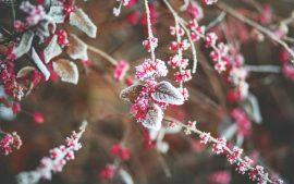 Papel de parede Folhas de cereja de neve