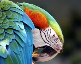 Papel de parede Papagaio