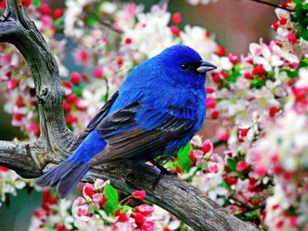 Papel de parede Pássaro azul na cerejeira para download gratuito. Use no computador pc, mac, macbook, celular, smartphone, iPhone, onde quiser!