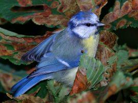Papel de parede Pássaro Azul