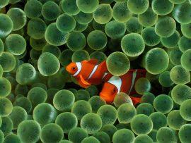 Papel de parede Peixes Palhaço
