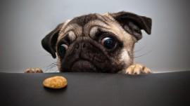 Papel de parede Pequeno Pug