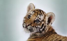 Papel de parede Pequeno Tigre