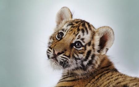 Papel de parede Pequeno Tigre para download gratuito. Use no computador pc, mac, macbook, celular, smartphone, iPhone, onde quiser!