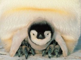 Papel de parede Pinguim – Bebê