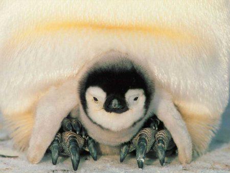 Papel de parede Pinguim – Bebê para download gratuito. Use no computador pc, mac, macbook, celular, smartphone, iPhone, onde quiser!