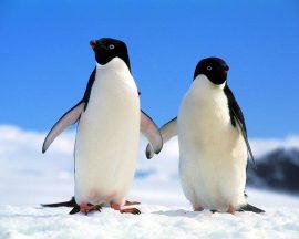 Papel de parede Pinguim – Casal