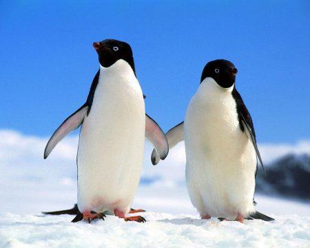 Papel de parede Pinguim – Casal para download gratuito. Use no computador pc, mac, macbook, celular, smartphone, iPhone, onde quiser!