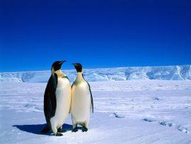 Papel de parede Pinguim – Dois