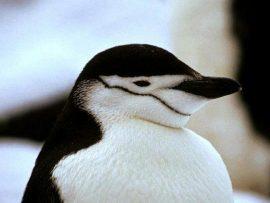 Papel de parede Pinguim – Mascarado