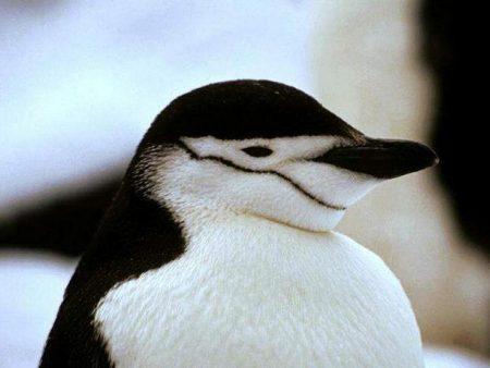 Papel de parede Pinguim – Mascarado para download gratuito. Use no computador pc, mac, macbook, celular, smartphone, iPhone, onde quiser!