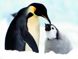 Papel de parede Pinguim – Pais