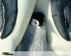 Papel de parede Pinguim – Paternidade