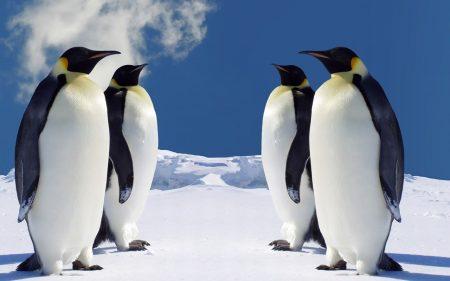 Papel de parede Pinguim – Quatro para download gratuito. Use no computador pc, mac, macbook, celular, smartphone, iPhone, onde quiser!