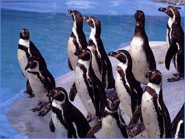 Papel de parede Pingüins