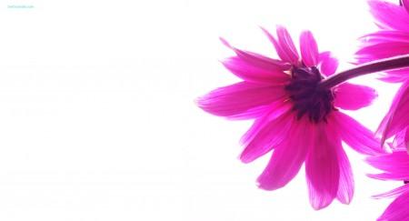 Papel de parede Pink Flower para download gratuito. Use no computador pc, mac, macbook, celular, smartphone, iPhone, onde quiser!