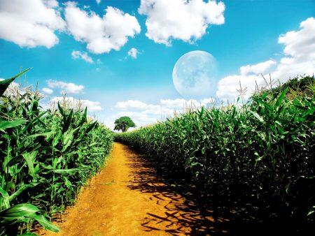 Papel de parede Plantação de Milho para download gratuito. Use no computador pc, mac, macbook, celular, smartphone, iPhone, onde quiser!