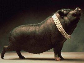 Papel de parede Porco