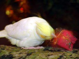 Papel de parede Presente de Natal – Pássaro