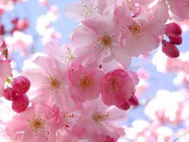 Papel de parede Primavera – Cerejeira