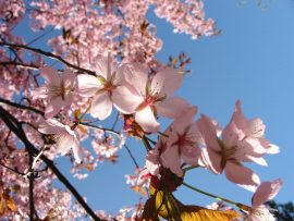 Papel de parede Primavera – Sakura