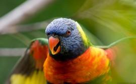Papel de parede Papagaio Australiano