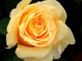 Papel de parede Rosa – Amarela