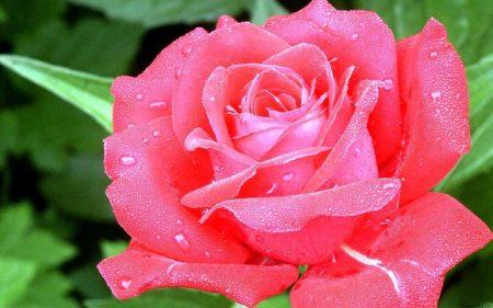 Papel de parede Rosa – Bela para download gratuito. Use no computador pc, mac, macbook, celular, smartphone, iPhone, onde quiser!