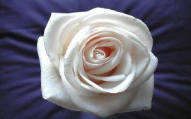 Papel de parede Rosa – Delicada