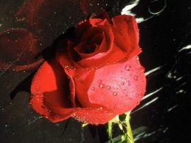 Papel de parede Rosa – Na Chuva