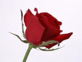 Papel de parede Rosa – Solitária