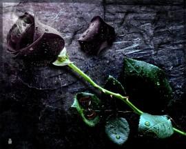 Papel de parede Rosa Preta