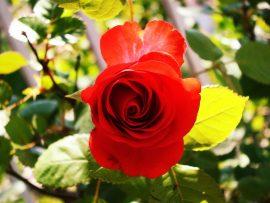 Papel de parede Rosa vermelha