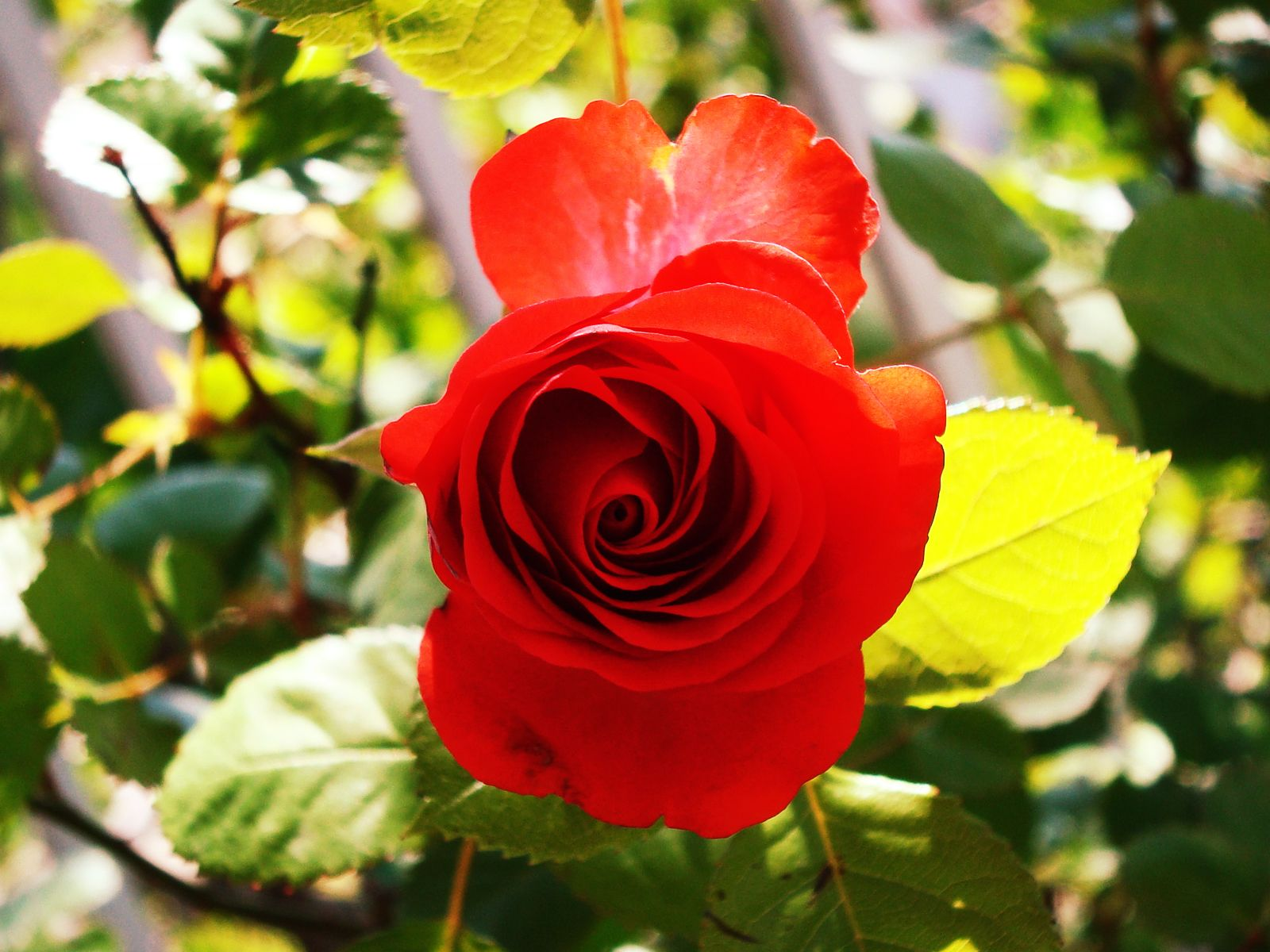 Papel De Parede Rosa Vermelha Wallpaper Para Download No