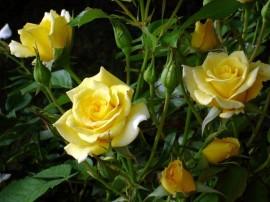 Papel de parede Rosas Amarelas