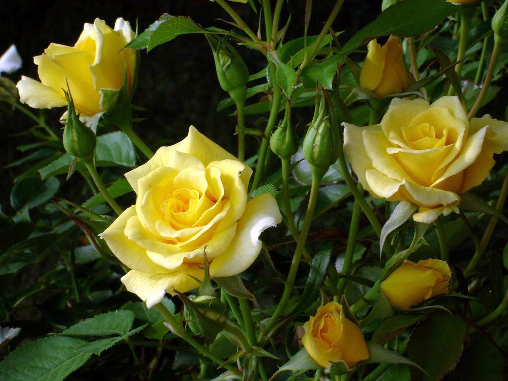 Papel de parede Rosas Amarelas para download gratuito. Use no computador pc, mac, macbook, celular, smartphone, iPhone, onde quiser!