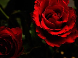 Papel de parede Rosas Vermelhas Abrindo