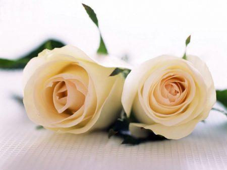 Papel de parede Rosas para download gratuito. Use no computador pc, mac, macbook, celular, smartphone, iPhone, onde quiser!
