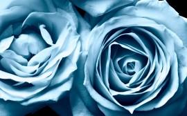 Papel de parede Rosas Azuis em Destaque