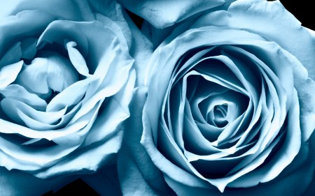 Papel de parede Rosas Azuis em Destaque para download gratuito. Use no computador pc, mac, macbook, celular, smartphone, iPhone, onde quiser!